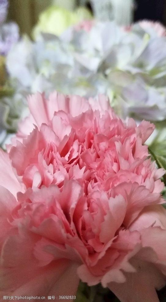 其他康乃馨花
