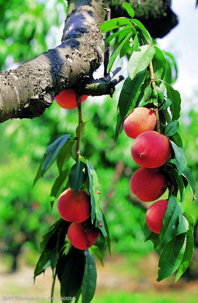 120dpi桃