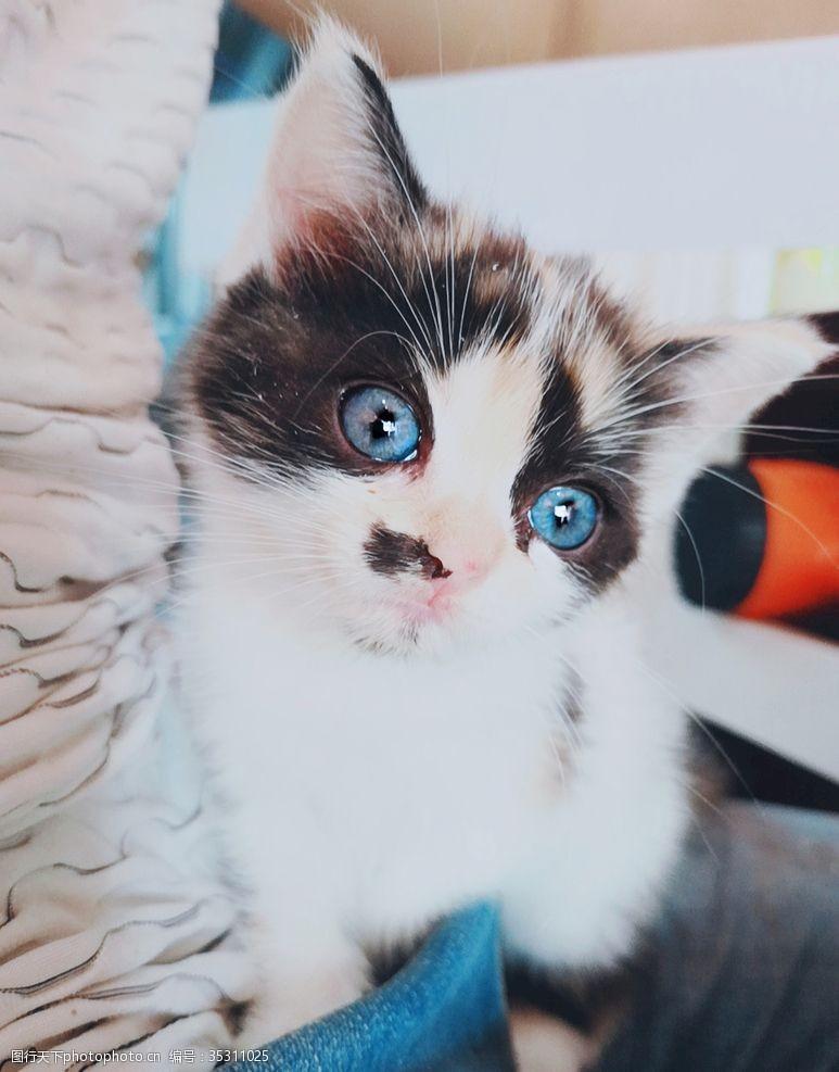 蓝眼睛小猫咪