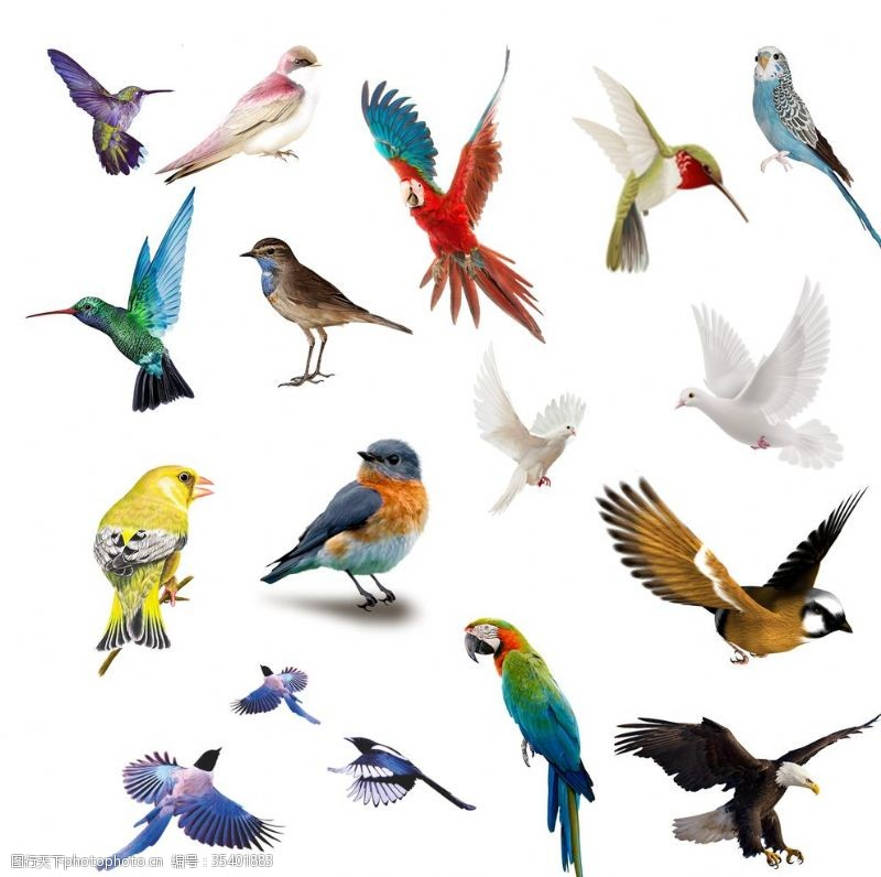 小鸟插图小鸟