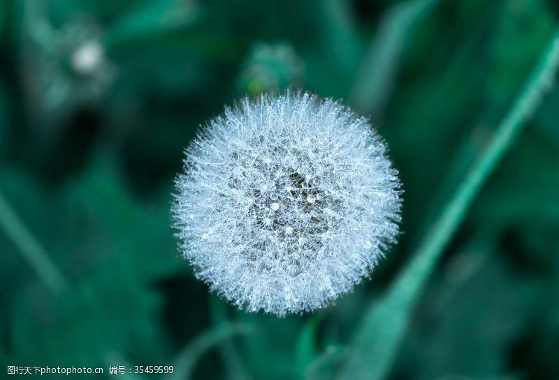 植物蒲公英素材