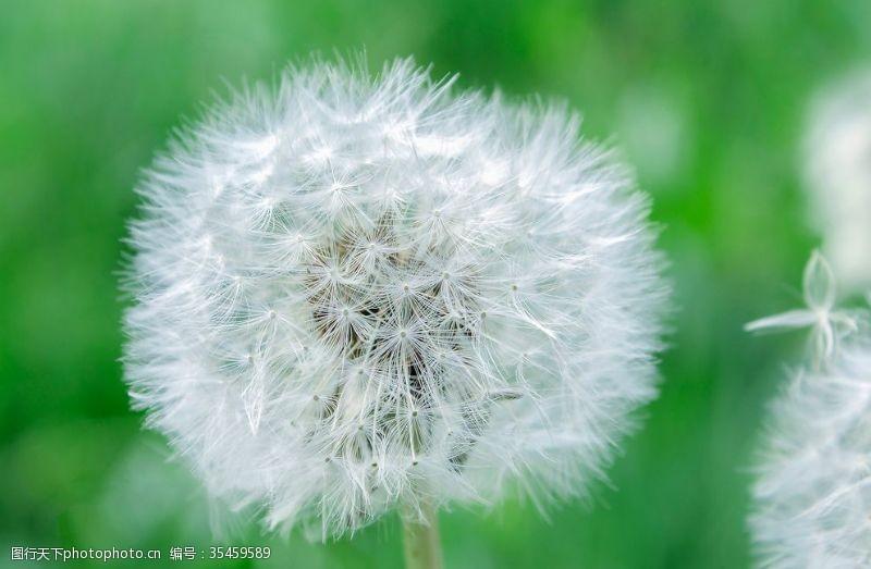 植物蒲公英图片