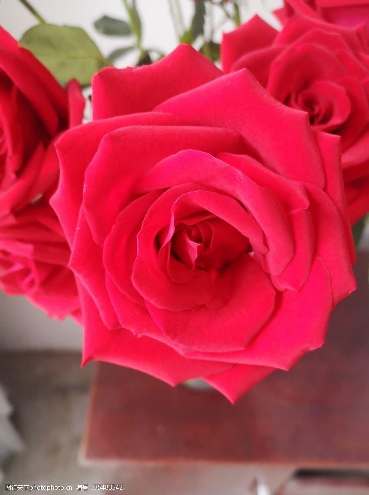 玫瑰花苞红玫瑰
