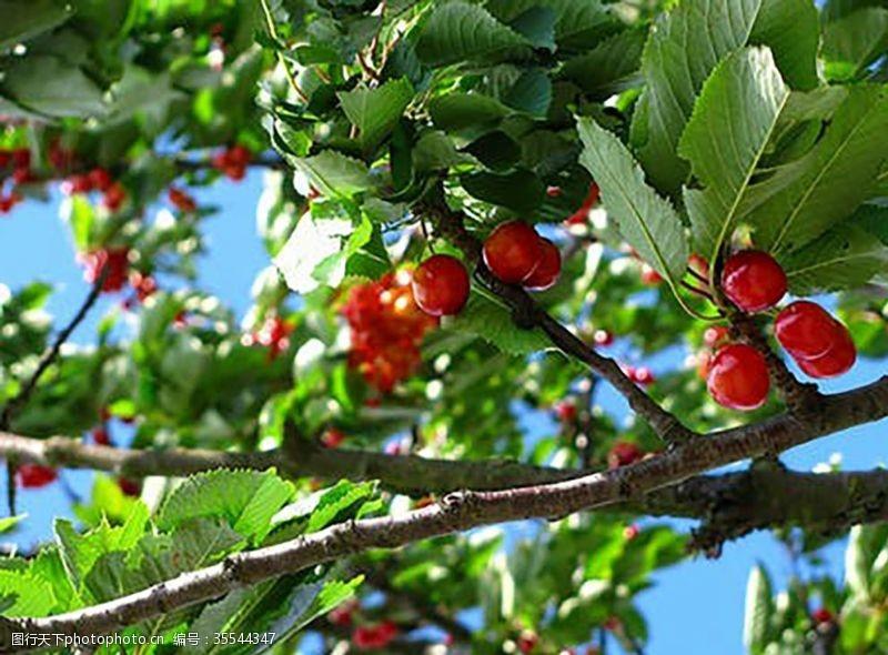 楔桃樱桃水果
