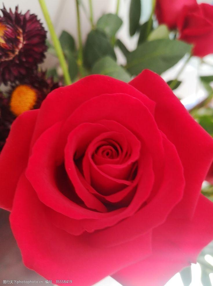 玫瑰花苞玫瑰