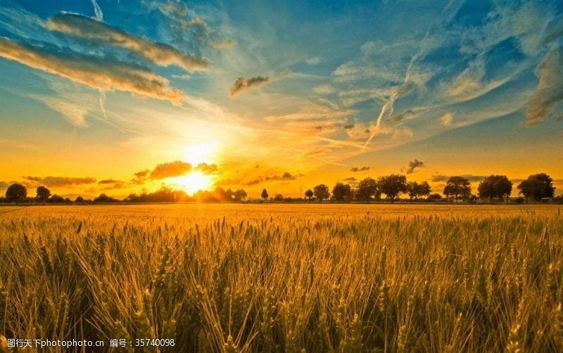 金黄背景与世无争的麦子