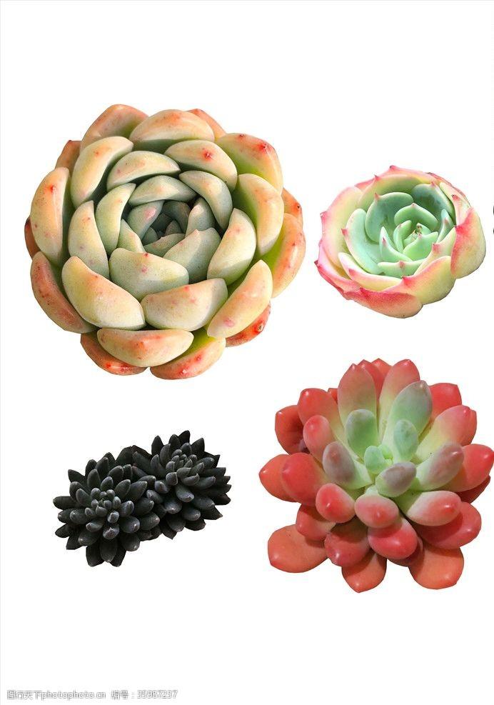 莲灯多肉植物素材