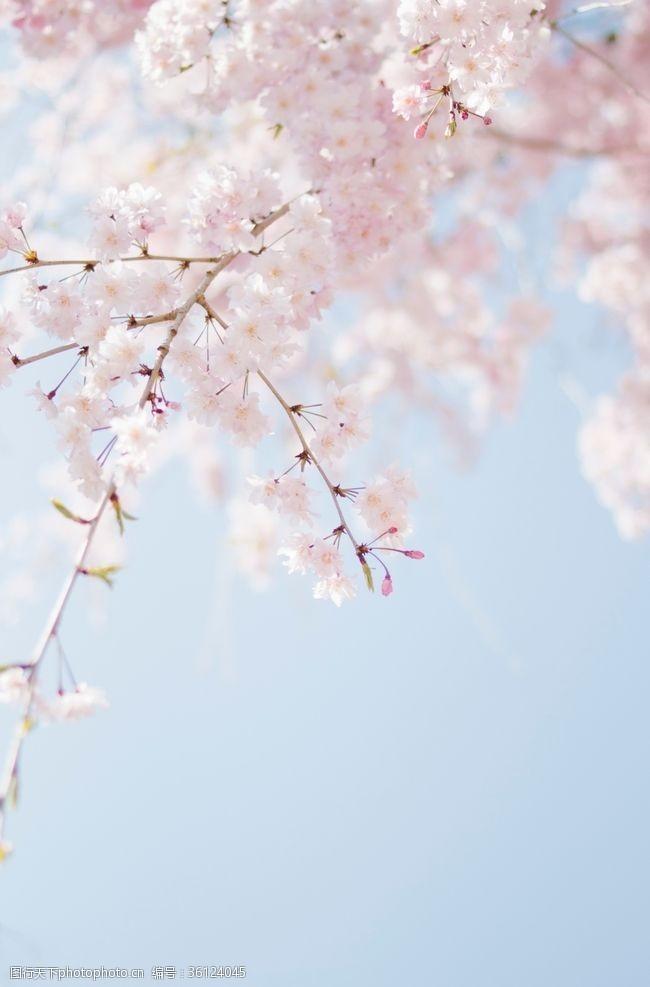 甜蜜粉色花樱花背景