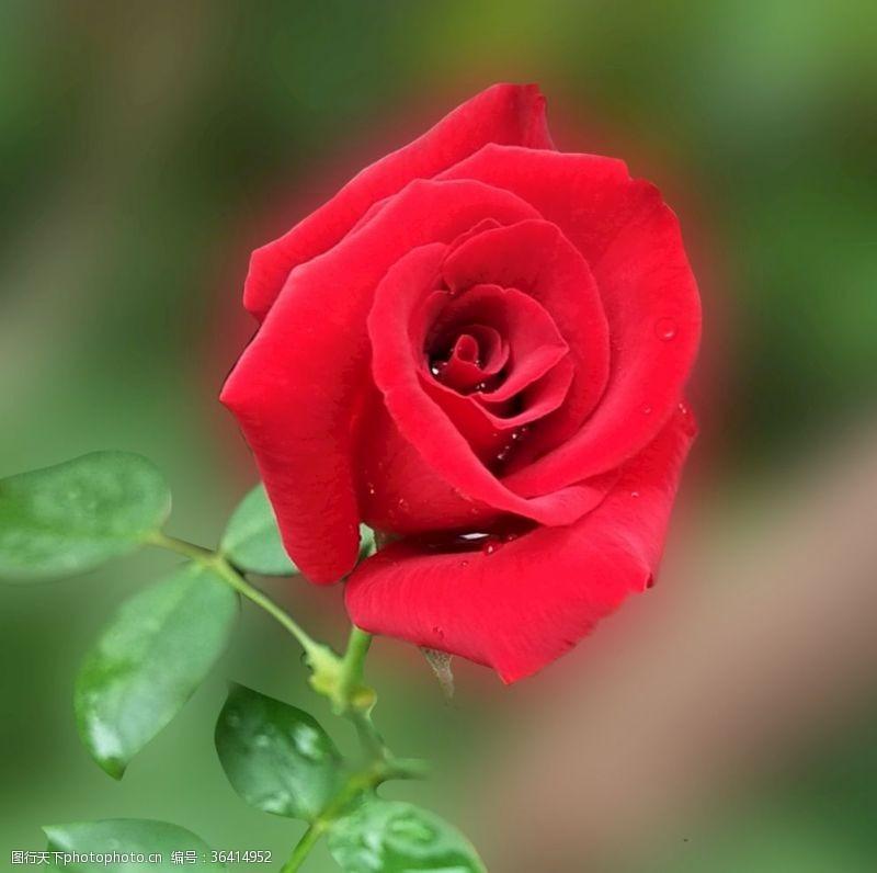 精美素材玫瑰花