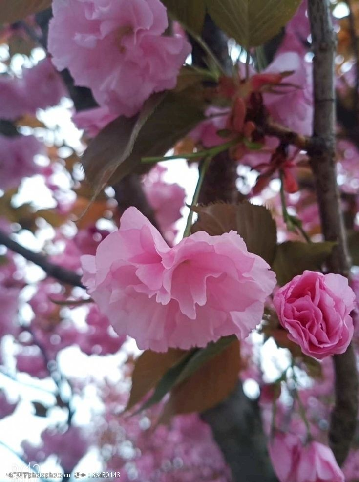 樱花旅游樱花
