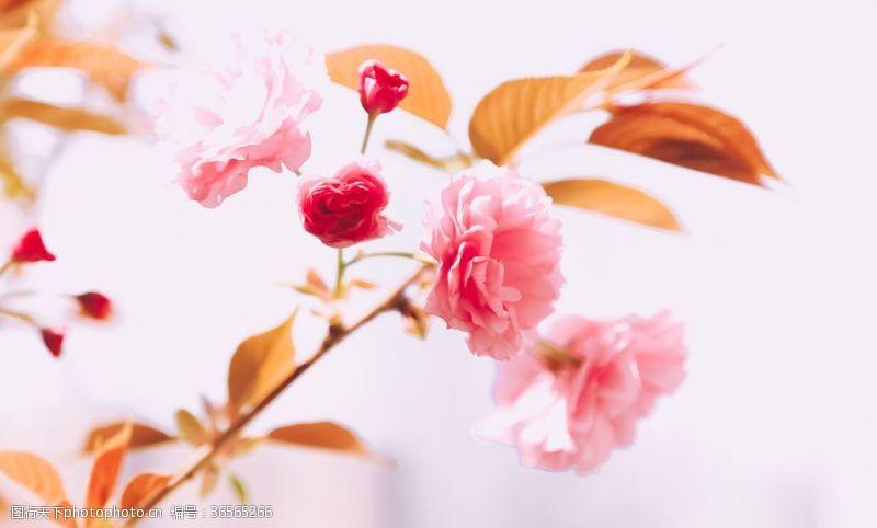 最美樱花节樱花节樱花图
