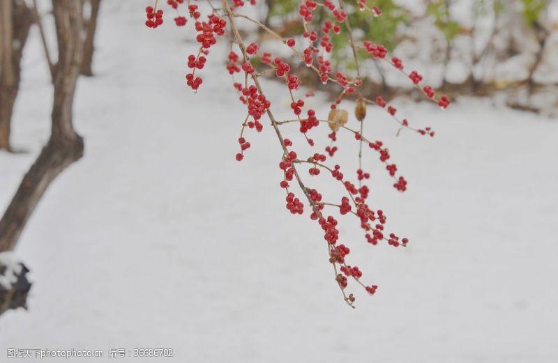 红球繁果忍冬