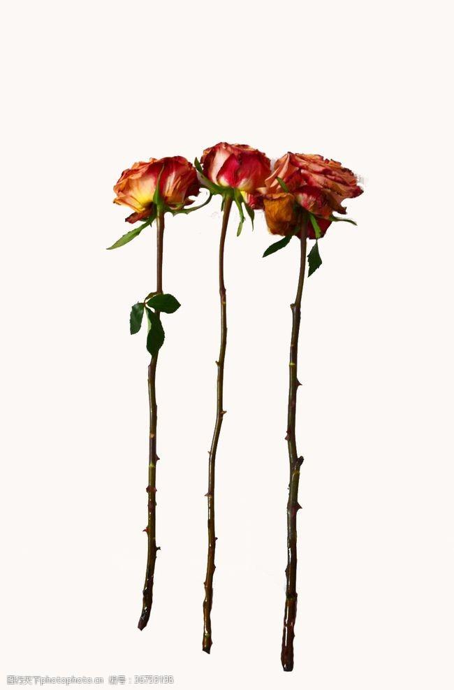 玫瑰花干花红花瓣植物绿叶茎干