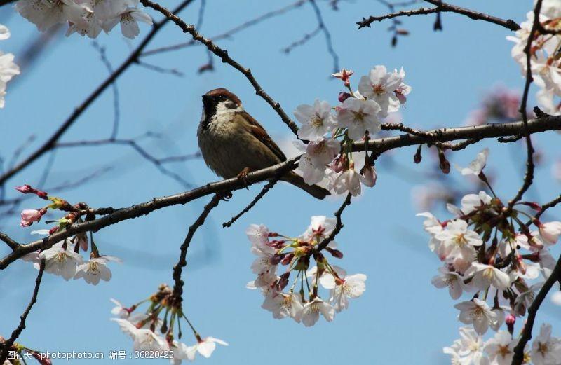 树枝小鸟麻雀