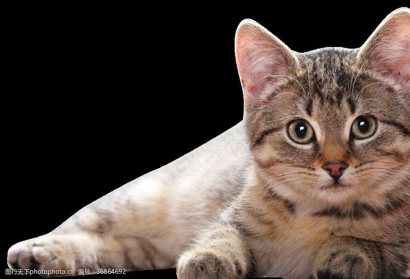 家宠猫咪免抠图
