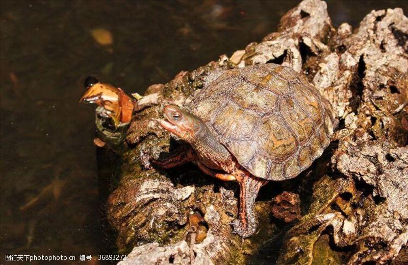 小龟王乌龟