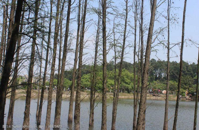 落叶树池杉