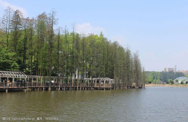 落叶树湖边池杉
