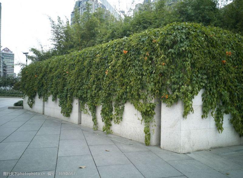 常青藤1墙头上的藤蔓