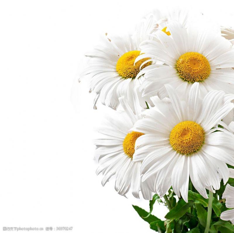 白菊花一束小雏菊花