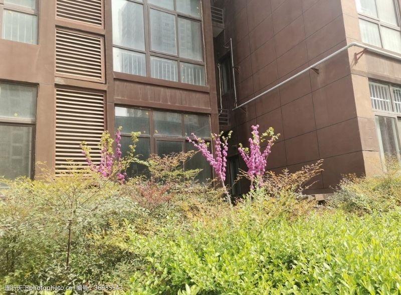 显眼紫荆花开