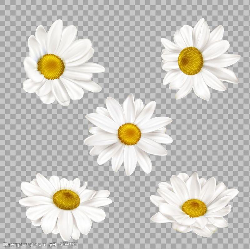 白菊花免抠白色小雏菊