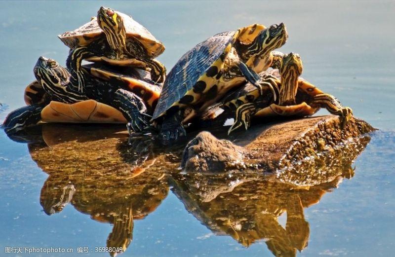 小龟王乌龟动物两栖动物大乌龟