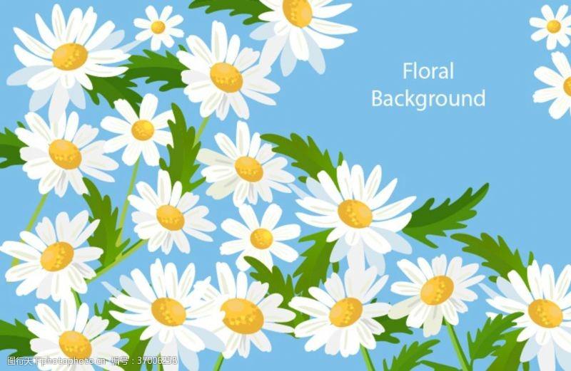 白菊花白色小雏菊