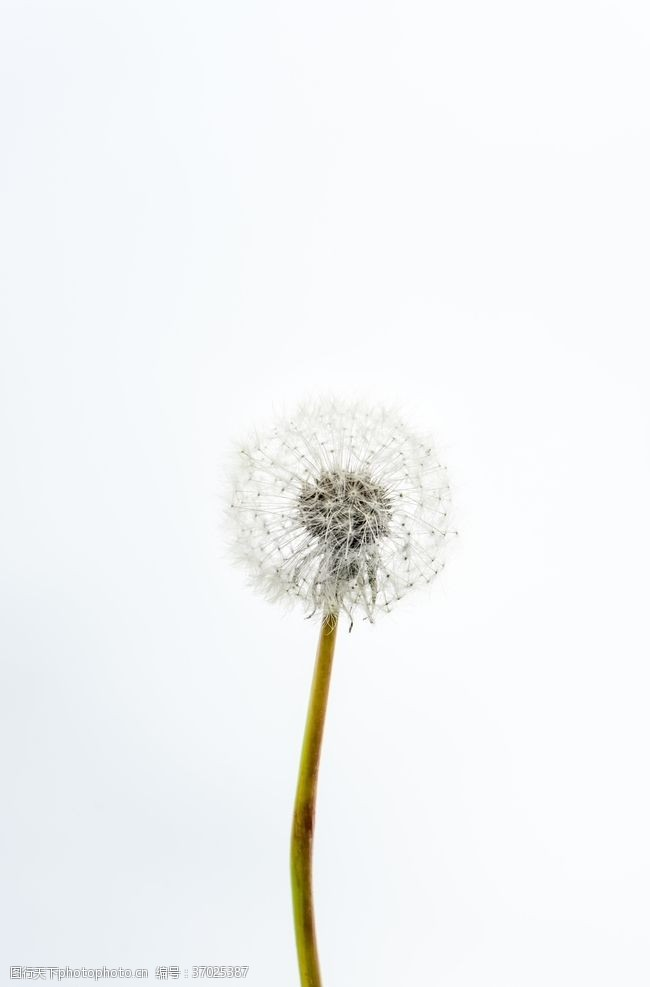 植物蒲公英白色蒲公英