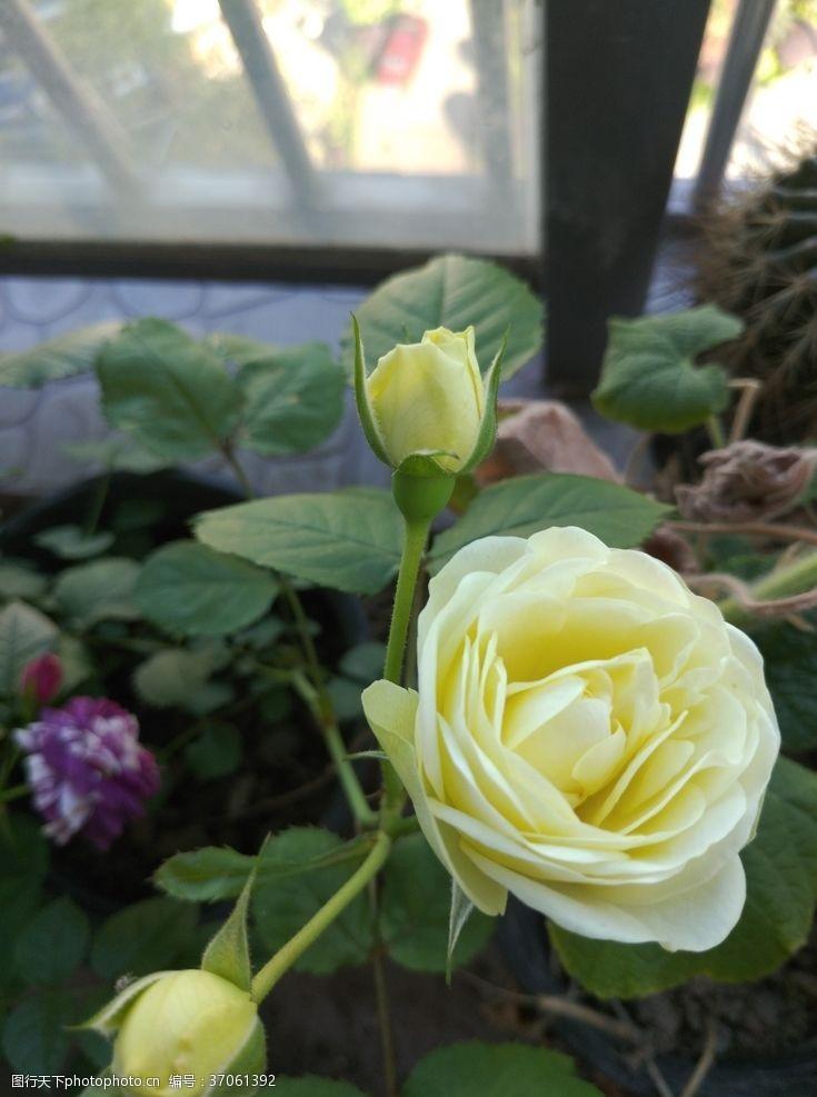 玫瑰花苞黄玫瑰