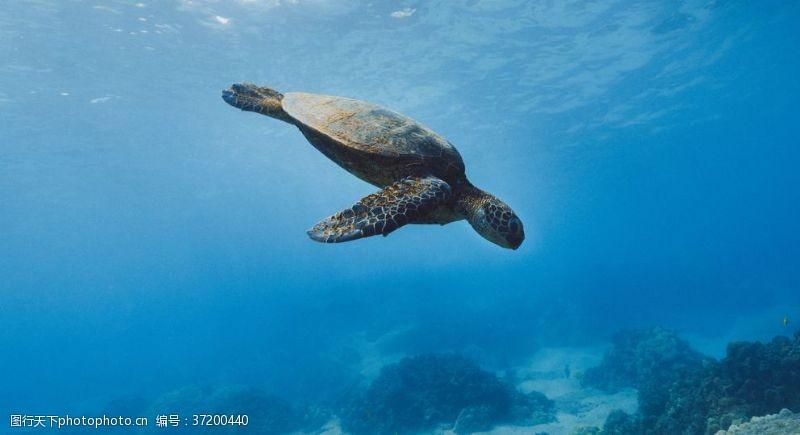 果汁素材海龟乌龟游动