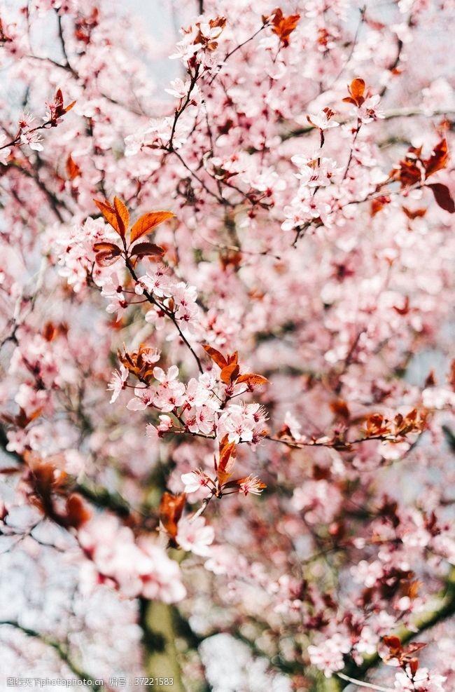 樱花旅游粉色樱花树