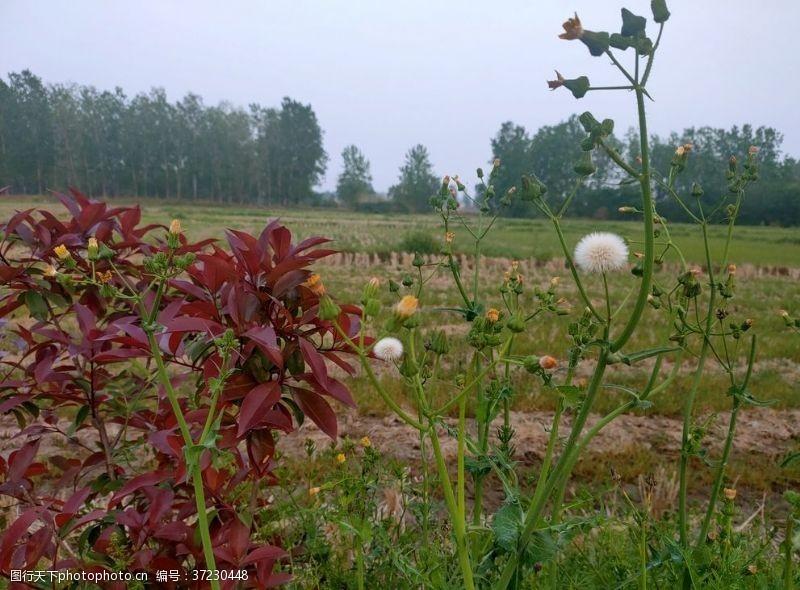 植物蒲公英乡间植物