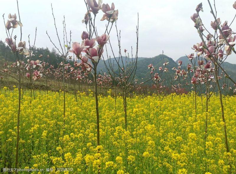 粉红色樱花粉色的玉兰花