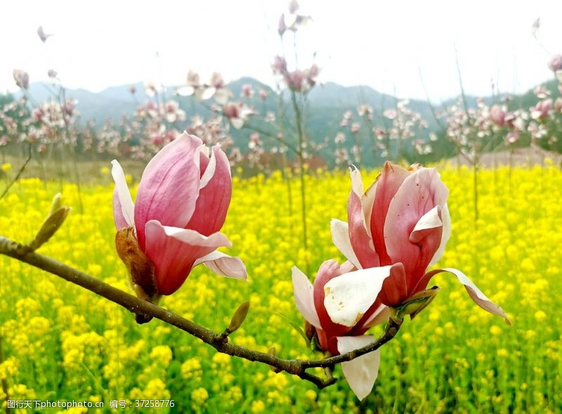 粉红色樱花粉色玉兰