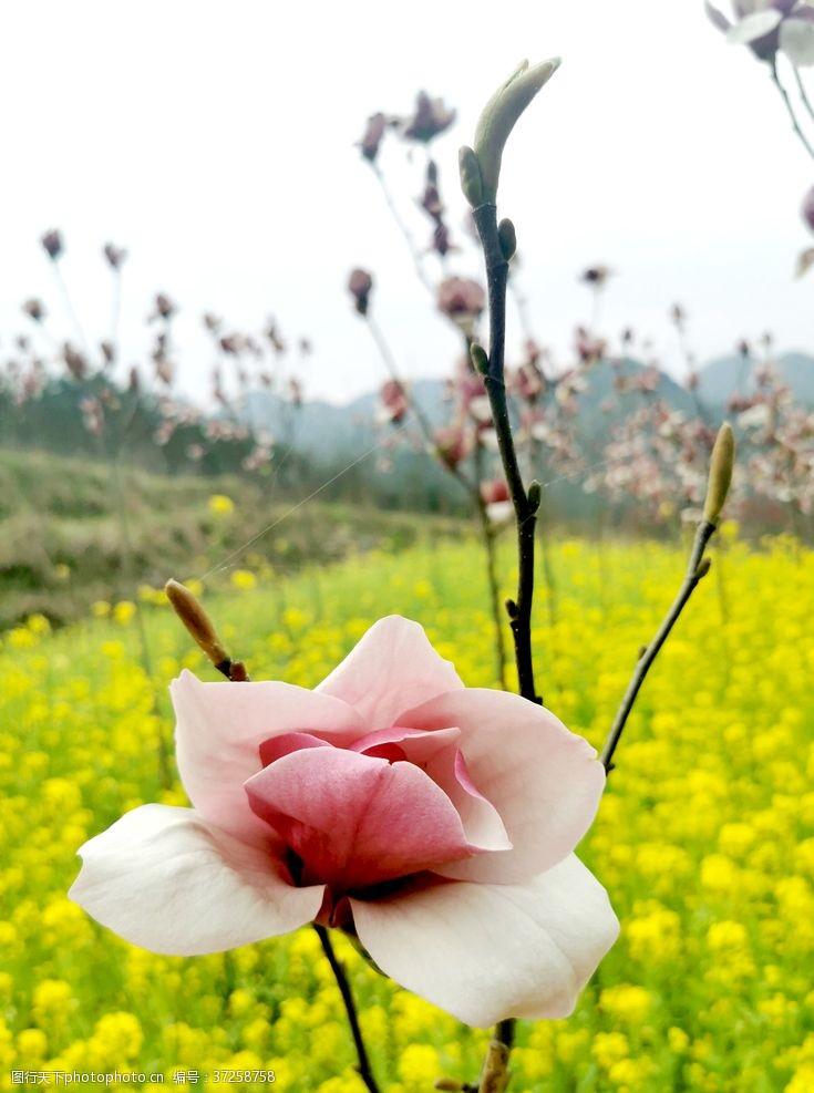 粉红色樱花花卉