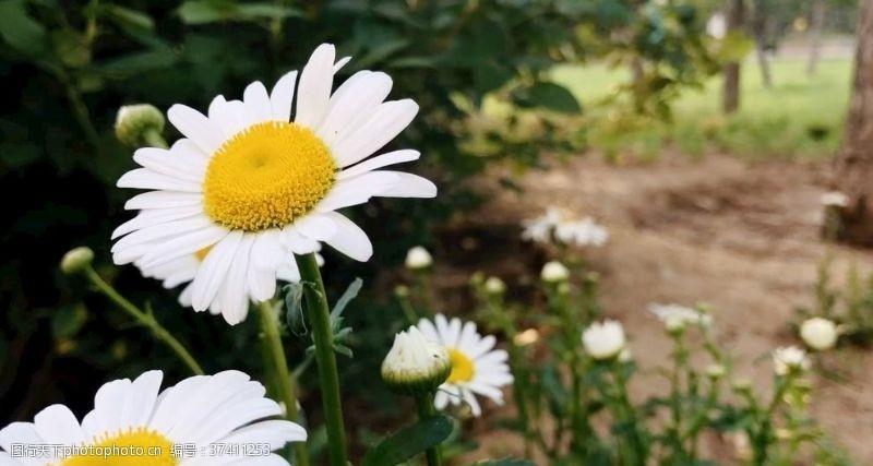 白菊花白晶菊