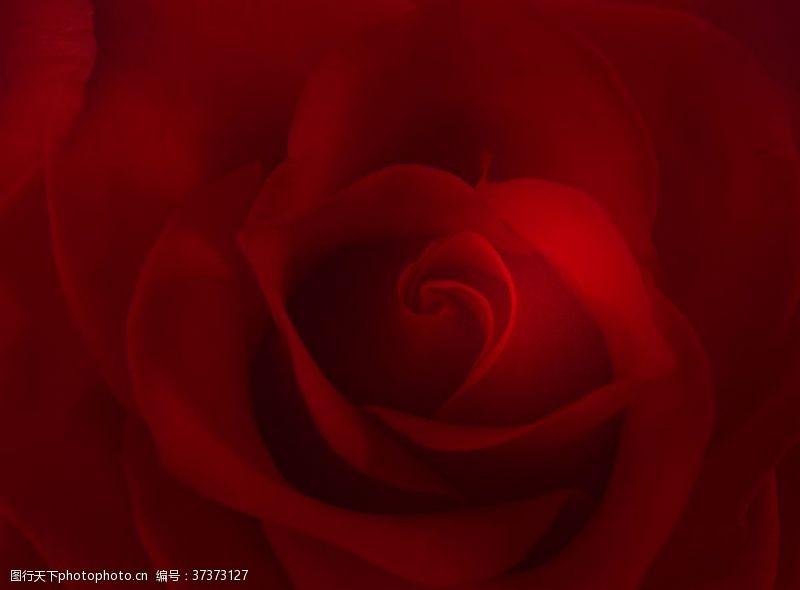 玫瑰花背景手抄报
