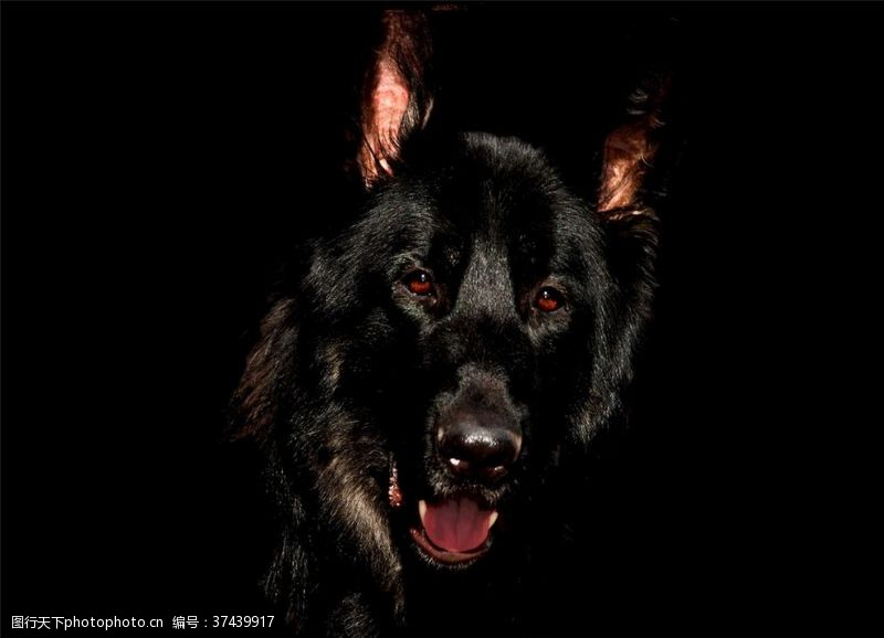 黑暗中的狼面部特写