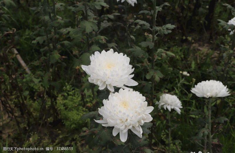 白菊花菊花