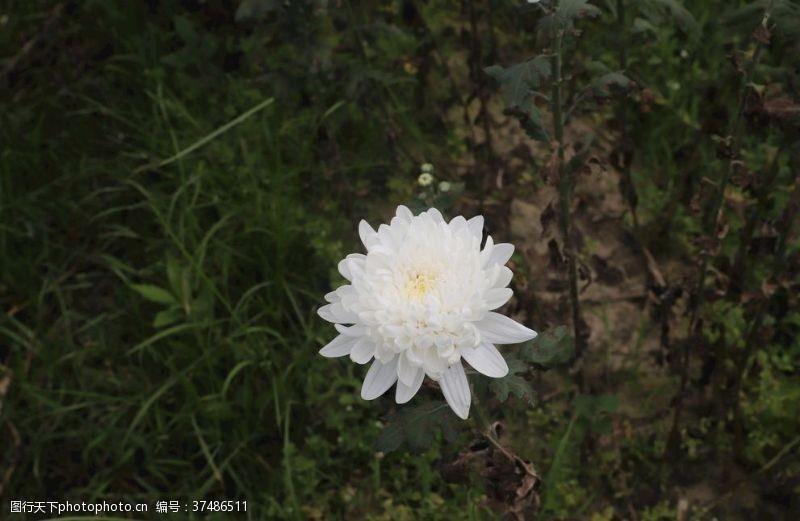 白菊花广告