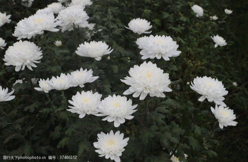 白菊花背景