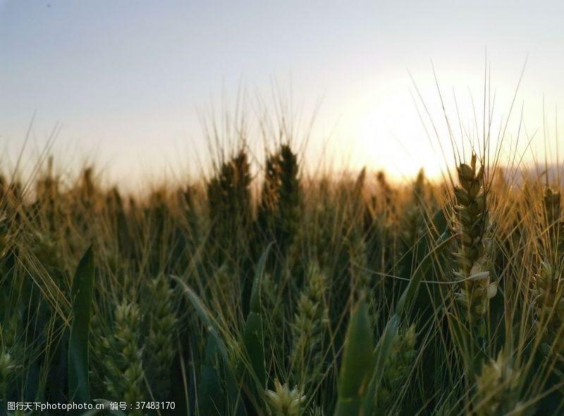 大图夕阳下的麦田