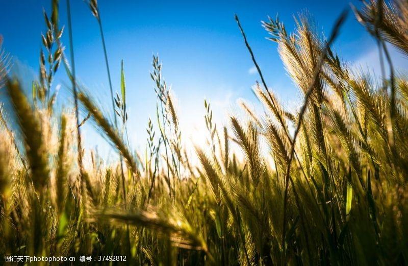 大图阳光下谷类植物