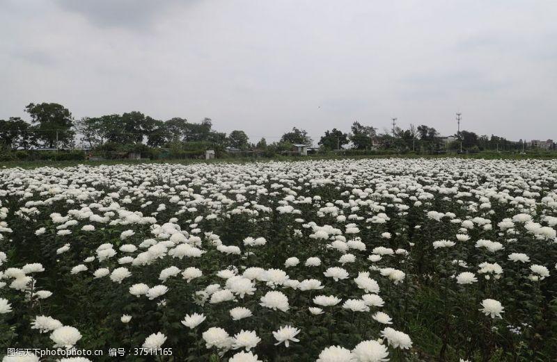白菊花设计