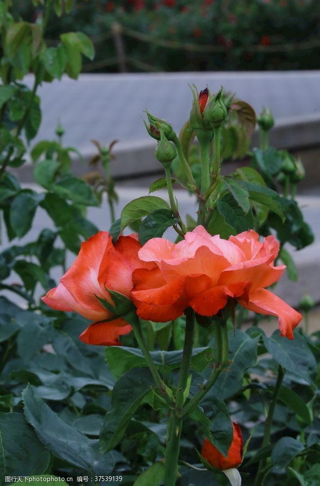 蔷薇科花卉月季花