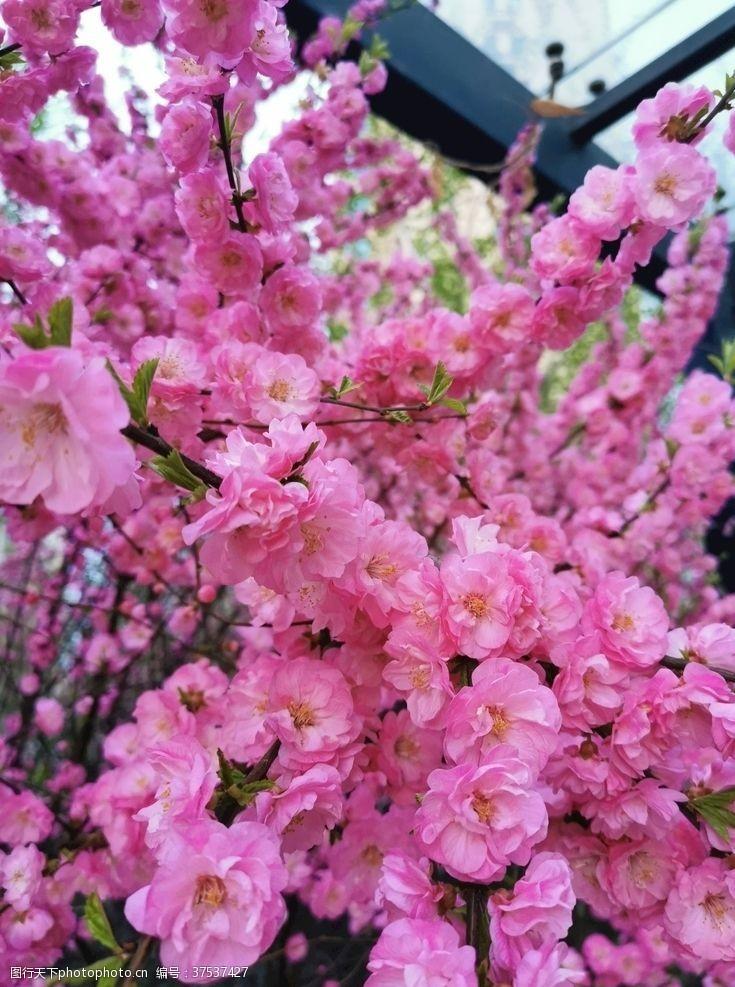 桃花季设计