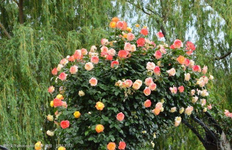 园林绿化月季花