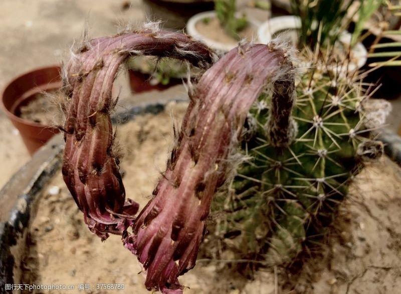 枯萎的花枯萎的沙漠之花