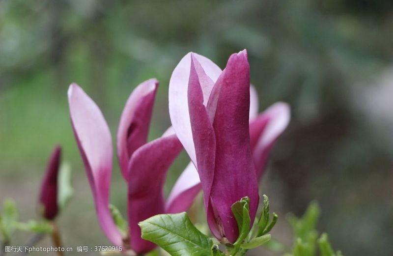 粉红色樱花玉兰花